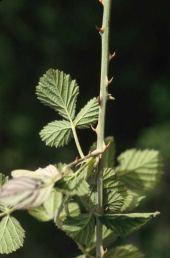 Rubus sp. Prickles on stem.Rosaceae