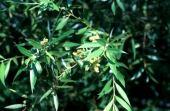 Salix sp. Jordan River, Israel. Salicaceae