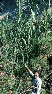Arundo donax. Cane. Wadi Rajib, Jordan. Poaceae