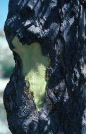 Styrax grandifolia. Bark. Jordan. Styracaceae