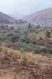 Tamarix sp. (With other woody vegetation). Zarka River Valley (biblical Jabbok). Jordan. Tamaricaceae