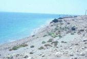 Tamarix sp. (In distance). Dead Sea. Tamaricaceae