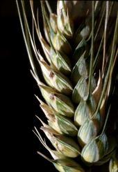 Triticum turgidum. Durum wheat. Near Idlib, Syria. Poaceae