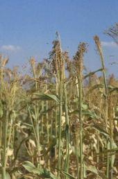 Sorghum vulgare. Variety grown for making brooms. Jenin, Palestine. Poaceae