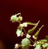 Urtica pilulifera. Nettle. Flowers. Urticaceae