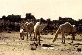 Urtica pilulifera. Nettle, habitat. Camels grazing. Um al Jamal, Jordan. Urticaceae