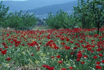 Papaver rhoeas. Poppy. Near Anjana, Jordan. Papaveraceae