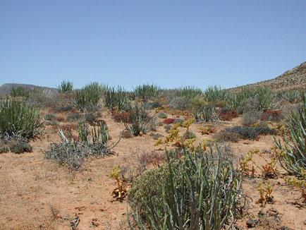 Euphorbia dregeana (green shrub), Gemsbokvlei, near Port Nolloth, South Africa. 22 December 2002