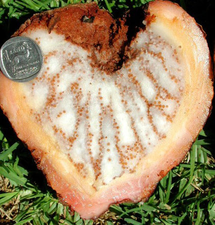 Hydnora triceps.  Freshly cut fruit, pericarp has not darkened. Near Port Nolloth, South Africa. 23 December 2002