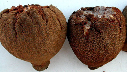 Hydnora triceps fruits beginning to dehisce. Near Port Nolloth, South Africa. 23 December 2002