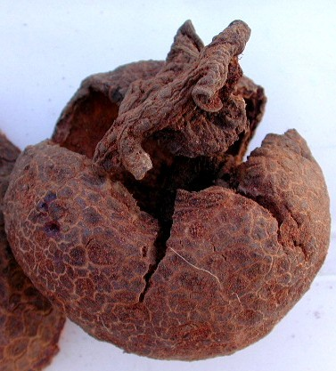 Hydnora triceps.  Dried, hollowed out fruit. Near Port Nolloth, South Africa. 23 December 2002